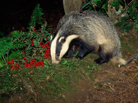 Badger Diet