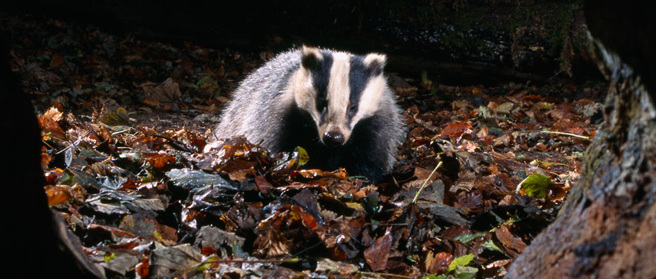 Badger in woods